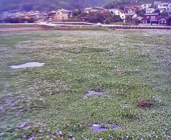 毎朝のウォーキングコースにある水面に草原のように花の咲いた池の写真